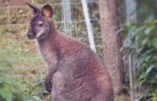Elkapták a szökött miskolci kengurut