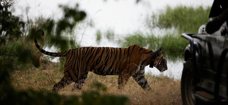 Rátámadt egy tigris az állatkert tulajdonosára