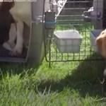 Retinába ég a laborból kiszabadított kutyák tekintete - videó