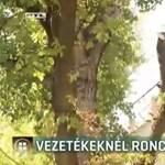 Vezetéknél roncsolták a fákat