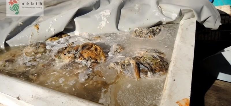 Videó: Penészes savanyítóban csinálták az illegál vecsési káposztát
