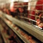 Így alkalmazzák az üzletláncok baromfihús-áfa csökkentését