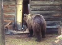 Szibéria hétköznap – azaz videón a medvelátogatás a kunyhóban