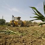 A szennyezett kukoricák vágását elhalasztották