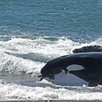 17 napig gyászolta borját a kardszárnyú delfin