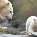 Bemutatták a világnak a berlini állatkert jegesmedvebocsát – videó