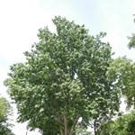 Az idén egy pesti fa lett a magyar Év Fája