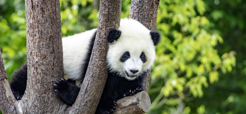Pandabíróságot állítottak fel Kínában