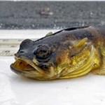 Egyre romlik a halak szaglása
