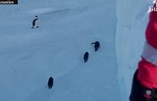 Szabályt szegtek a BBC természetfilmesei, amikor pingvineket mentettek egy árokból - videó