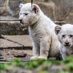 Így örültek a lehűlésnek a nyíregyházi oroszlánok – videó