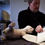 Videó: kövesse élőben Sikut a jegesmedve bocsot!