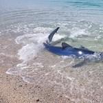 Ahogy az ember eltűnt az olasz partokról, megjelentek a cápák