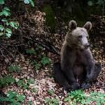 Videó: Olyan medvével találkoztunk Erdélyben, hogy meg kellett zabálni
