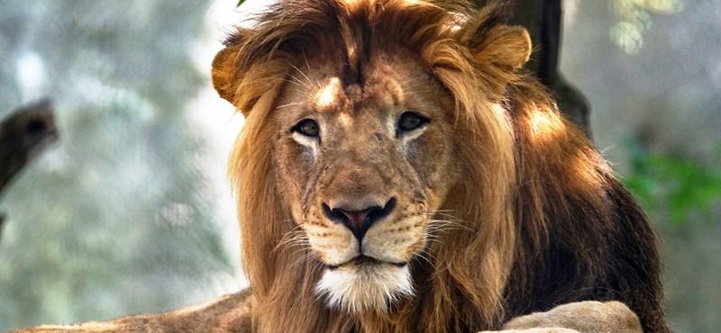 Nyolc évig élt együtt az oroszlánpár, aztán a nőstény meggyilkolta a hímet