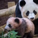 Szép is, jó is: jelentős gazdasági haszonnal jár a pandák védelme