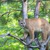 Éppen kertészkedett, mikor az egyik fáról egy puma nézett le rá