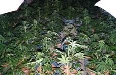 Közel ezer tőből álló kannabiszültetvényt talált a rendőrség egy remeteszőlősi ház pincéjében