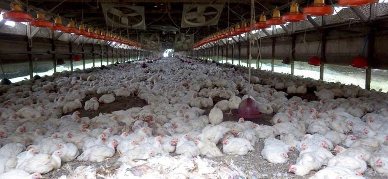 Már nincs madárinfluenza-járvány Magyarországon