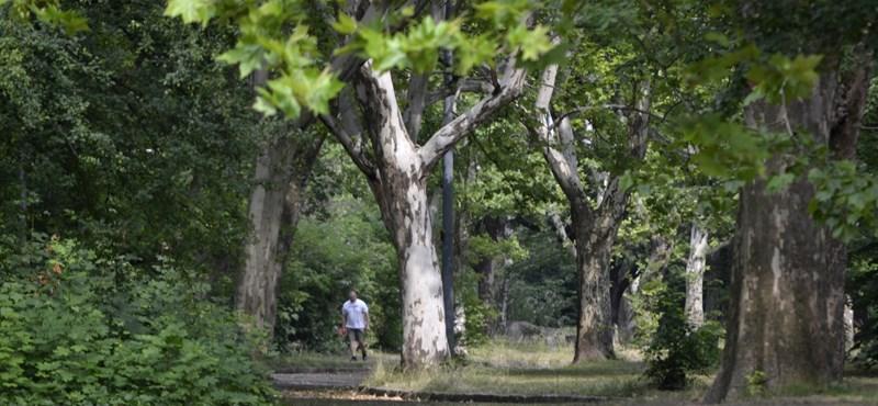 Szándékosan megmérgeztek egy fát Szegeden