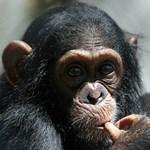 Így játsszák a csimpánzok a kő-papír-ollót – videó