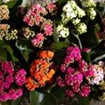 3 sokat virágzó dísznövény otthonra (gondozási tippekkel)