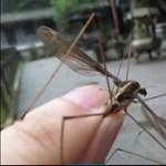 11 centis óriásszúnyogot találtak Kínában – videó