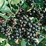 Itt vannak a jelöltek: melyik legyen az év magyar gyümölcsfajtája?