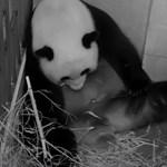 Pandaikrek születtek a washingtoni állatkertben