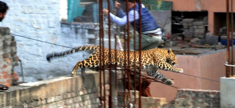 Állatbűnözés: hat embert támadott meg az iskolába szökött leopárd