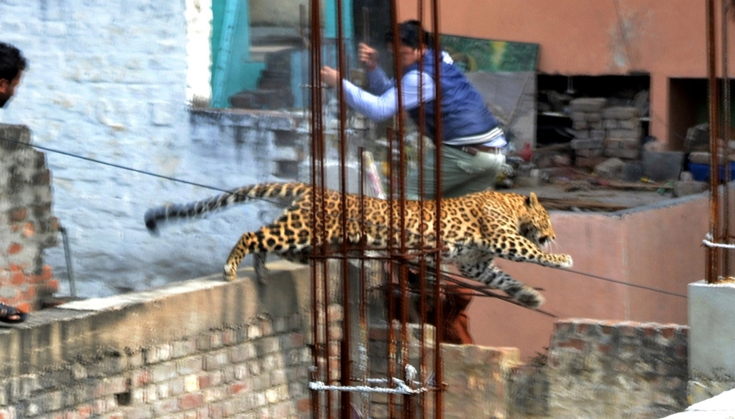 afp. leopárdtámadás, INDIA, Meerut 2014.02.23. A leopard leaps across an under-construction structure near a furniture market in the Degumpur residential area as a bystander moves out of the way in Meerut on February 23, 2014. A leopard sparked panic in a