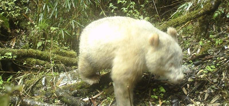 Ilyen különleges pandát még biztosan nem látott