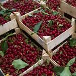 Magyar nemesítésű cseresznye a chileiek kedvence