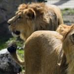 Fotók: Elfoglalták kifutójukat az új debreceni oroszlán-agglegények