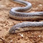 Kihaltnak hitt óriáskígyófajt találtak, ráadásul Magyarország szomszédságában