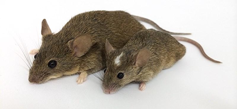 Az űrben is izmosak maradtak a NASA mutáns egerei