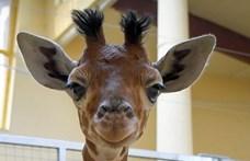 Zsiráf született a veszprémi állatkertben