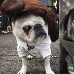 Látott már Leia hercegnőnek öltöztetett mopszot? Itt a lehetőség