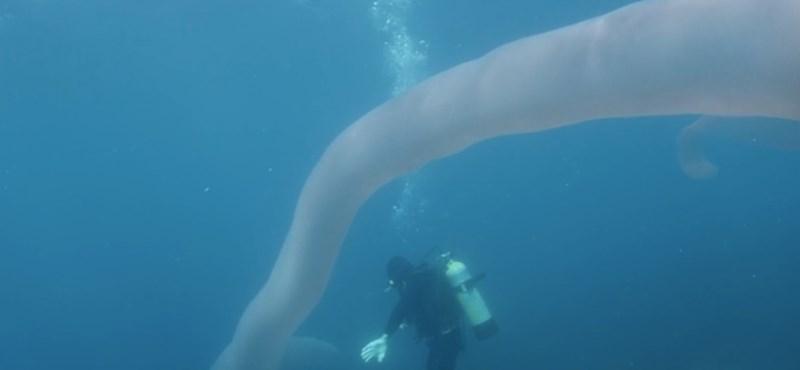 10 évig kutatott utána, végre videóra tudta venni a búvár a különleges tengeri állatot – videó