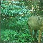 Édesen játszadozó farkasokat kapott el az aggteleki kameracsapda – videó