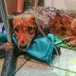 Egy hét után elpusztult a felforrósodott autóból kimentett kutya