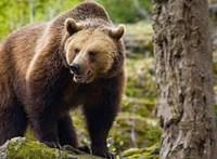 Valószínűleg medve végzett egy szlovák férfival