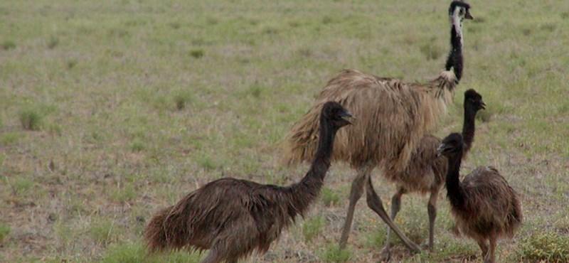 Egy napon belül már másodszor kellett lezárni egy brit főutat egy elszabadult emu miatt