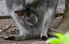 Kengurubébi a debreceni állatkert új lakója