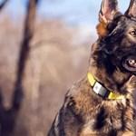 Elkészült az eddigi legokosabb nyakörv, azt is jelzi, hol jár a kutya