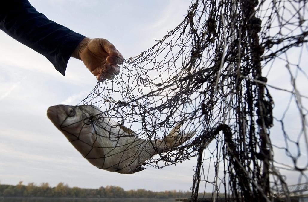 Hagyományos halászat a Dunán, Fajsz, 2013. október 25.