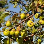 Csak úgy vigyorog az év fájának gyümölcse
