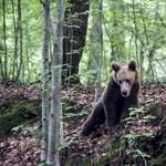 Medve támadt két emberre Tusnádfürdőn