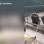 Egy csimpánz lopott egy szelfibotot, de a társa visszaadta (videó)