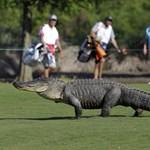 Tóba rejtőző betörőt falt fel egy aligátor